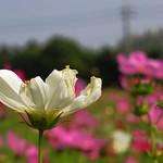 2014 11 桃園.中壢.圓通寺.波斯菊