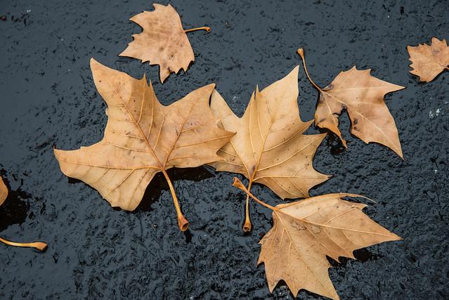 Winter Leaves on Blacktop