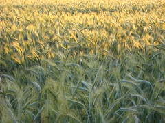 hordeum, prairie, agriculture, triticale, rye, food grain, field, barley, wheat, plant, produce, crop, cereal,