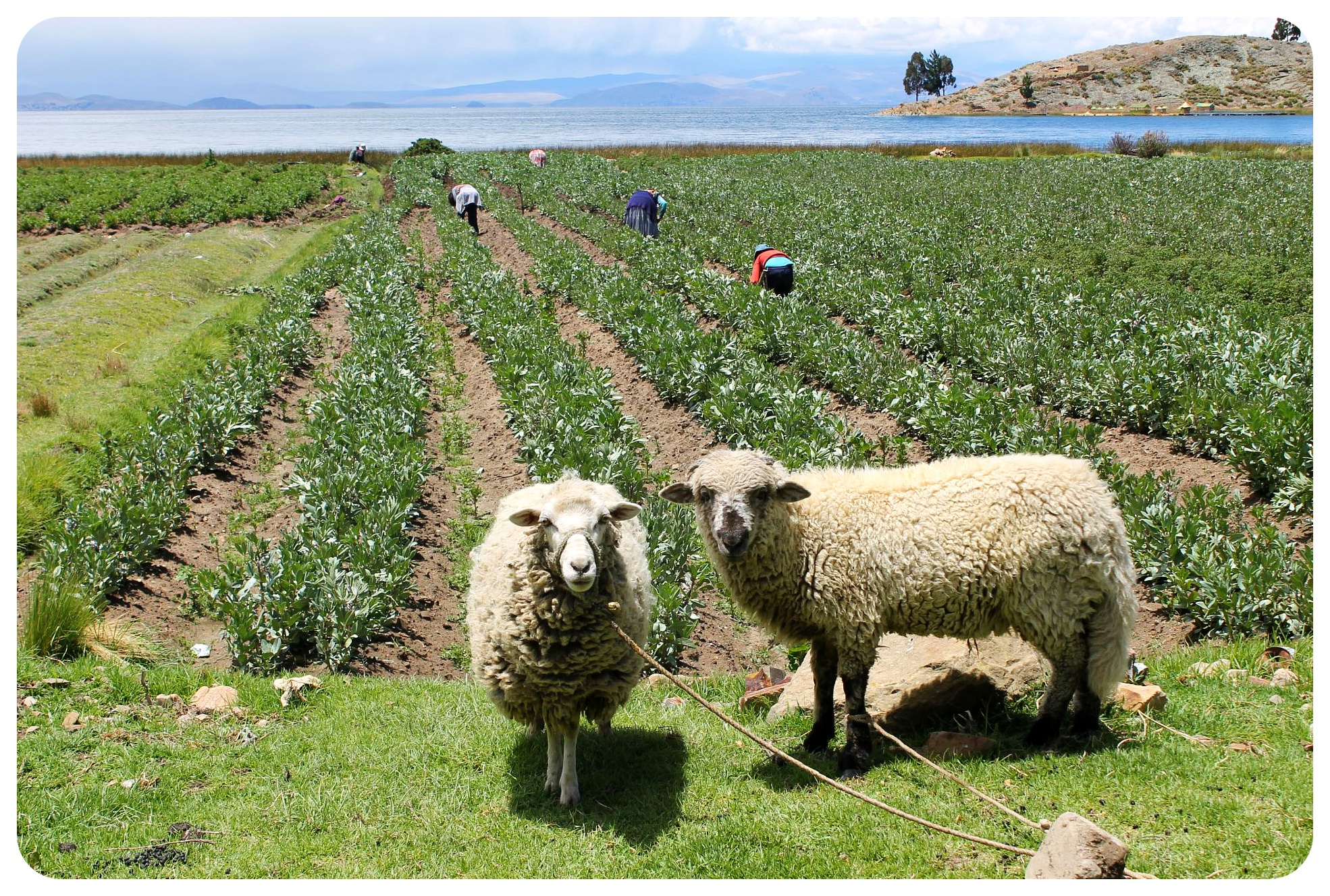 lake titicaca sheep