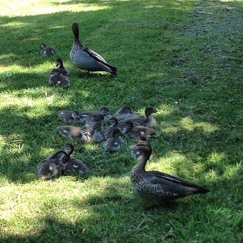 The campus ducklings are growing up fast