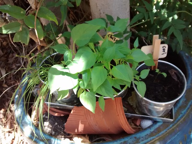 chili chives coriander