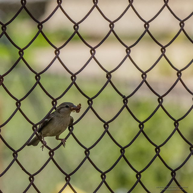 Little sparrow on the fence