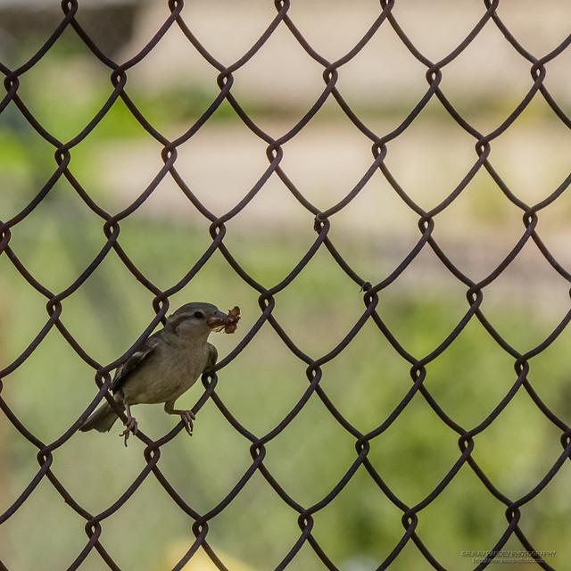Little sparrow on the fence