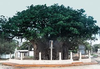 Baobab. Mannar