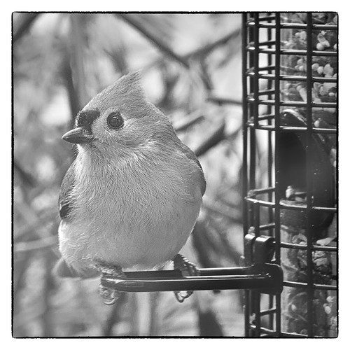 blackandwhite bird home birdfeeder 0115 tuftedtitmouse lightroom silverefex onmycard flickrbingo3 flickrbingo3b11