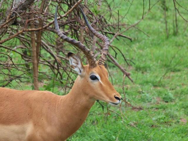 Primer plano de un impala en el Parque Kruger de Sudáfrica