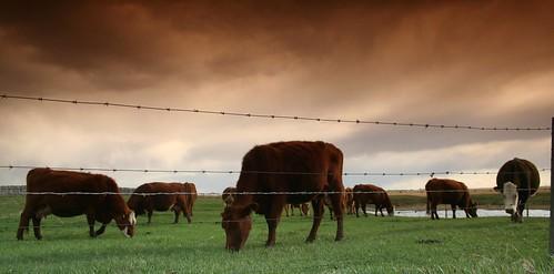 Livestock grazing.