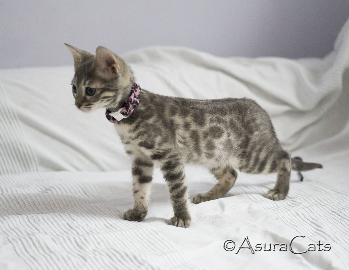 AsuraCats Blue spotted female Bengal kitten