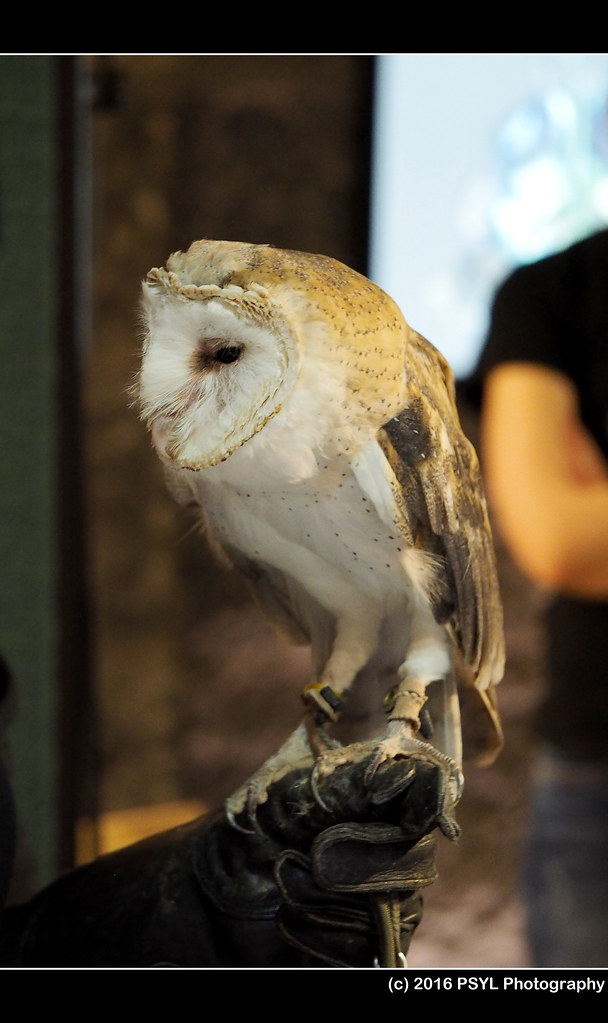 Captive Barn Owl (Tyto alba)