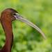 Glossy Ibis by Matt φ Smith