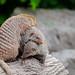 Mongoose pile