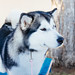 Small photo of Alaskan malamute