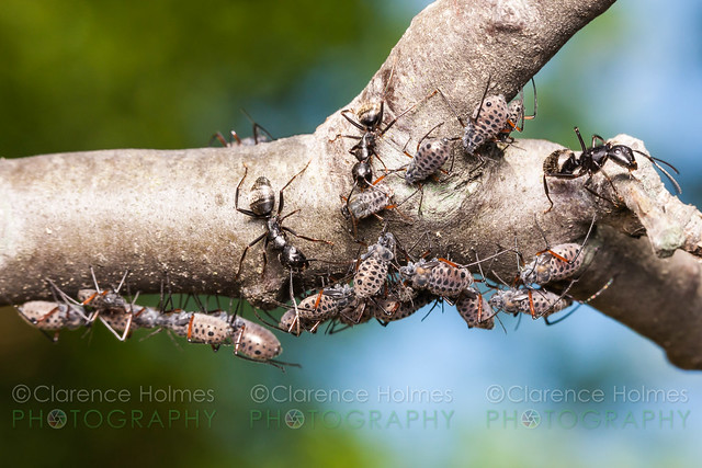 Black Carpenter Ants (Camponotus pennsylvanicus) tend Giant Bark Aphids (Longistigma caryae)