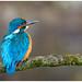 Common Kingfisher (male) - IJsvogel (man) (Alcedo atthis) by Martha de Jong-Lantink