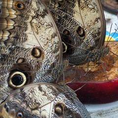 Butterfly dinner time @natural_history_museum #London #museum #butterfly #insect