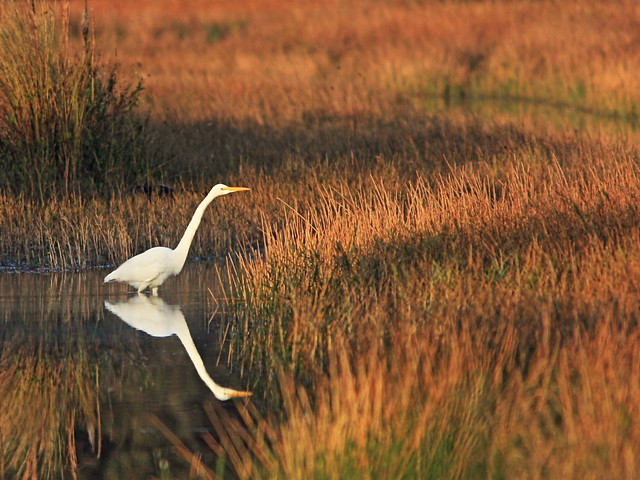 Great Egret 20141210