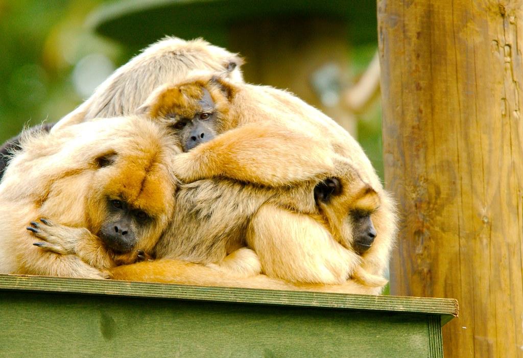 Black and Gold Howler Monkey (Alouatta caraya)_18