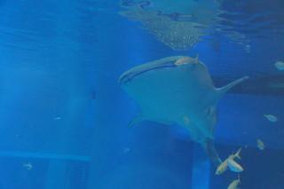 080 Osaka aquarium - walvishaai