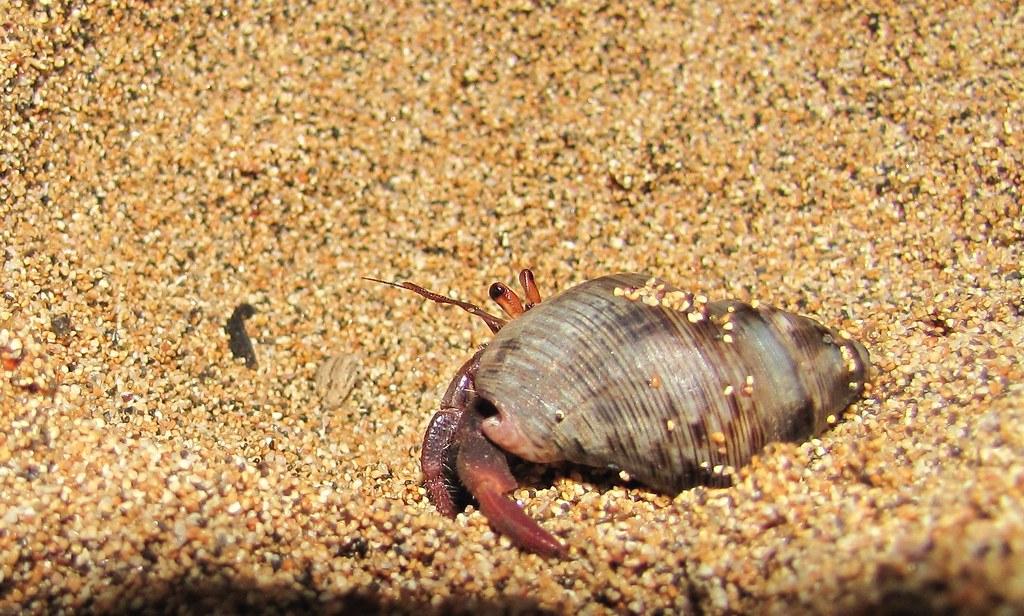 Sao Tome Praia Inhame Hermit Crab 2