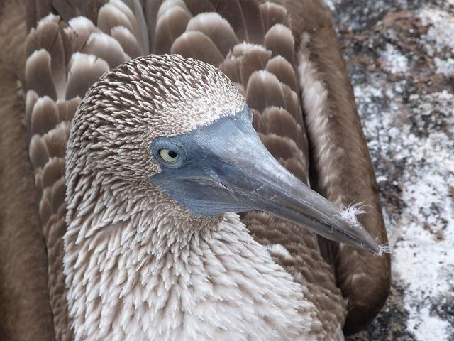 Piquero de patas azules de Galápagos (Ecuador)