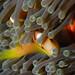 Maldivian anemone fish by BasementVision