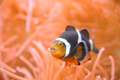 Clown Fish and Anemones