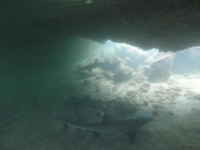 Whitetip Reef Shark, Los Tuneles