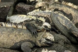 Marine Iguanas Underfoot
