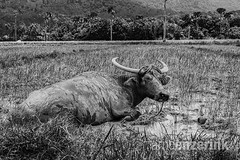 Water buffalow relaxing in the mud in a rice field