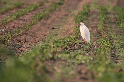 bird nature field animals israel champs animaux tamron oiseau 70300 canoneos600d tamronaf70300mmf456divcusdif