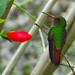 Rufous Backed Hummingbird