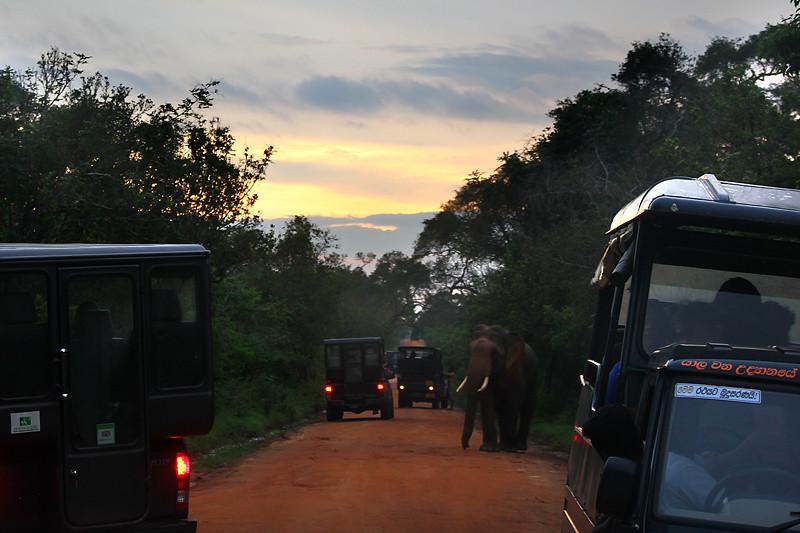 A wild elephant walking among safari jeeps - Yala National Park