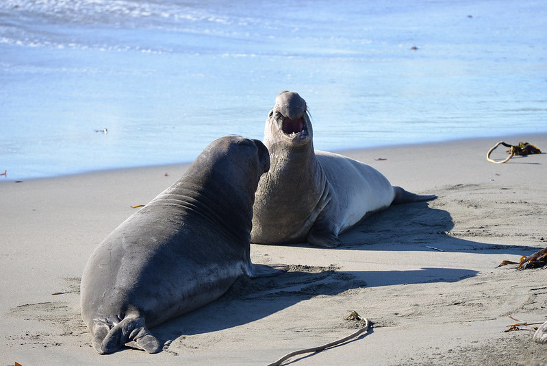 Male Elephant Seals on the way to a fight