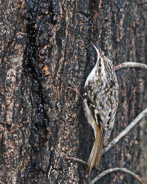 Brown Creeper 20d_9102