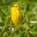 Yellow warbler singing - Glenhurst Meadows, NJ