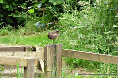 Post and Rail (Common Moorhen)