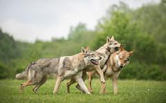 Wolfshundetreff Gablitz 2016