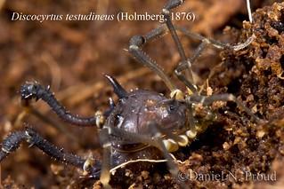 Discocyrtus testudineus (Gonyleptidae)