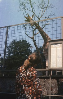 Giraffes at Edinburgh Zoo, July 1972