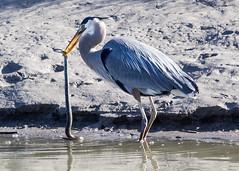 animal(1.0), wing(1.0), fauna(1.0), little blue heron(1.0), reflection(1.0), heron(1.0), pelecaniformes(1.0), beak(1.0), bird(1.0), wildlife(1.0),