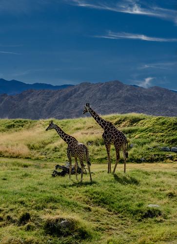 california unitedstates palmsprings giraffe palmdesert lightroom martinsmith reticulatedgiraffe thelivingdesert nikon18200mmvrii nikond7000 pse12 palmsprings2014 ©martinsmith