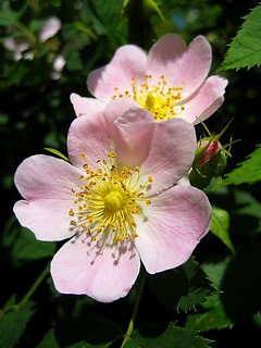 dogrose from wiki