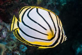 Meyer's Butterflyfish - Chaetodon meyeri