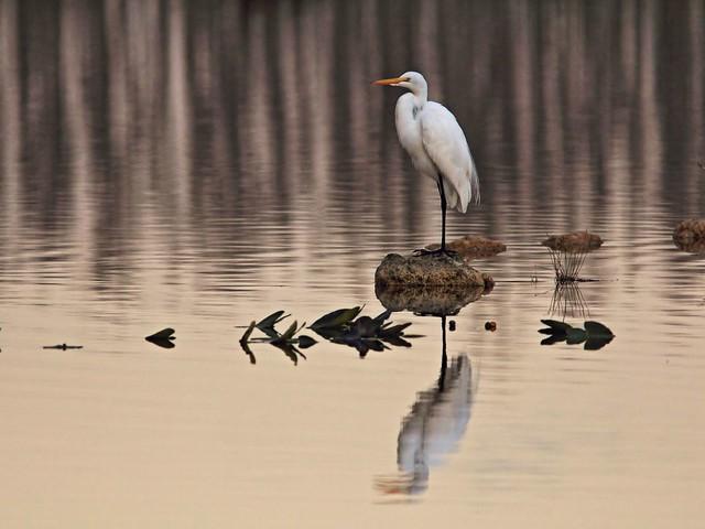 Great Egret 2-20141201