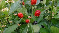 blackberry, tayberry, shrub, berry, flower, plant, wine raspberry, produce, loganberry, fruit, food, salmonberry, dewberry, bramble,