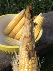 sweet corn, yellow, maize, corn on the cob, produce, food, cuisine,