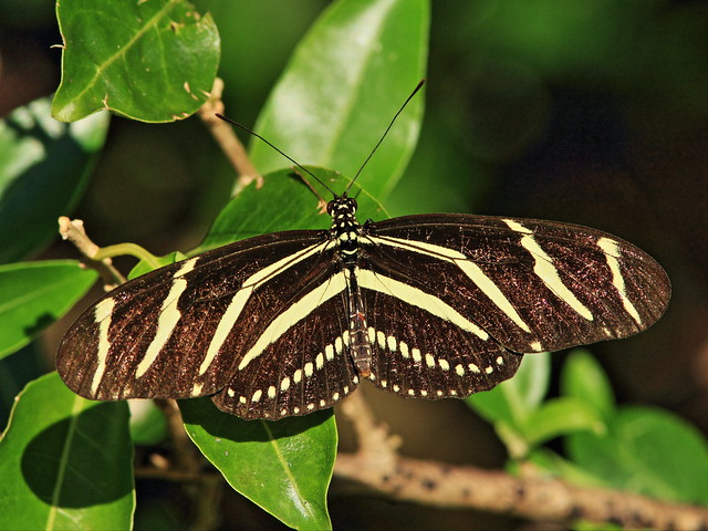Zebra Heliconian 20141216