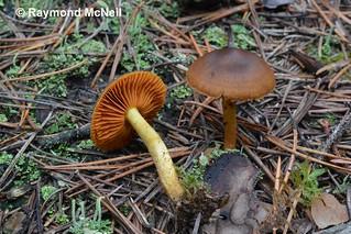 Cortinarius malicorius / Cortinaire à lames orange