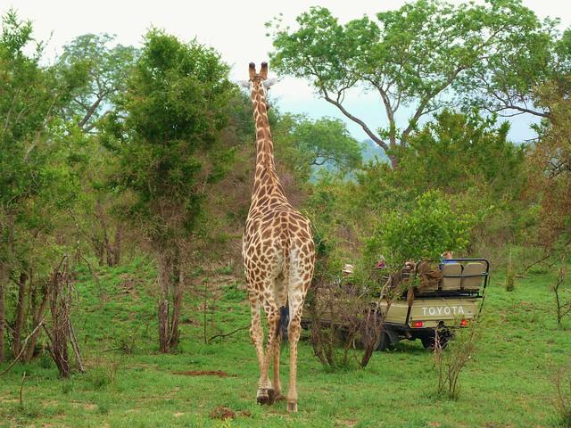 Escena típica de un safari por África